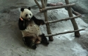Giant Pandas transported by Volga-Dnepr are welcomed at their new home in Finland